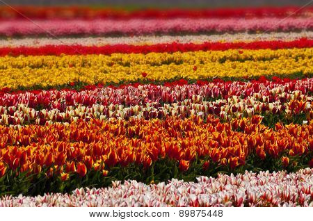 Tulip Field In Full Blossom