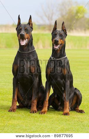 Two Black Dobermans Are Sitting On The Grass
