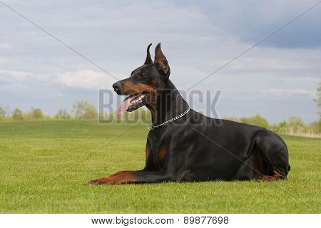 Black Doberman Dog Is Laying On The Grass