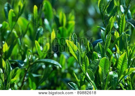 Young and tender green tea leaves in spring. Shallow depth of field.