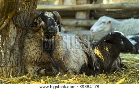The Ram And Sheep