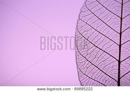 Skeleton leaf on purple background, close up
