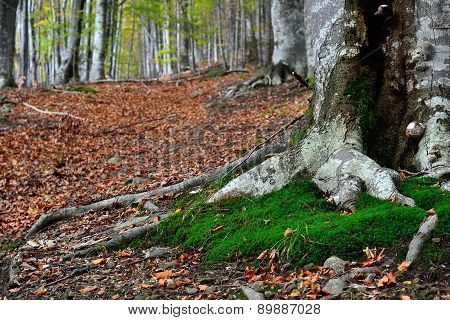 Tree Roots In A Autumn Forest