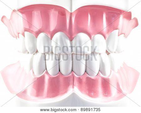 Teeth Dental Model.