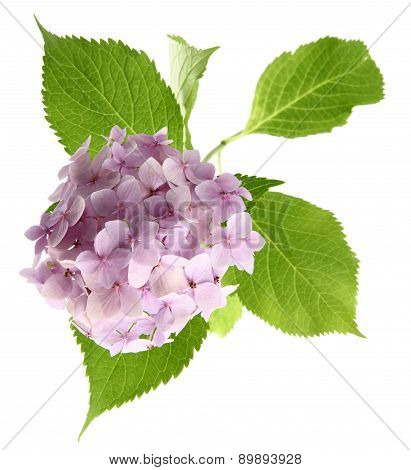 flower pink hydrangea isolated on white background