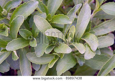 Stevia Plant Fills Image Frame