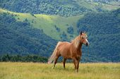 pic of chestnut horse  - Single chestnut brown horse standing on the mountain pasture with green mountains in background - JPG