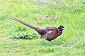 stock photo of pheasant  - Common Pheasant looking for food in its habitat - JPG