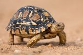 foto of tortoise  - Leopard tortoise walking slowly on sand with his protective shell - JPG