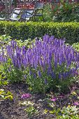 stock photo of purple sage  - Clump of purple sage plants planted on a bed outside - JPG