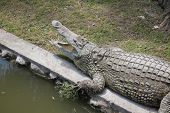picture of crocodiles  - Crocodile  - JPG