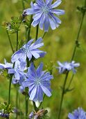 image of chicory  -  Close up Blue Chicory flower  - JPG