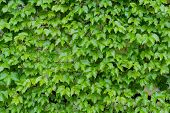 image of ivy vine  - ivy leaves on wall background for wallpaper - JPG