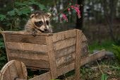 stock photo of scared baby  - A Baby Raccoon playing in the garden - JPG