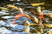 picture of koi  - Many Colored Koi Carps in a Dark Pond - JPG