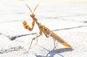 image of creepy crawlies  - Brown Colored Adult Smart Insect Mantis Religiosa - JPG