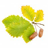 pic of acorn  - acorns and oak leaves isolated on white background - JPG