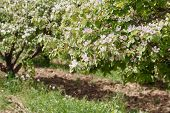 stock photo of orchard  - Spring orchard with blooming quince on a sunny day Flowers and buds on spring quinces trees in orchard - JPG