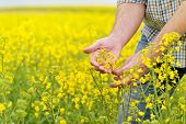 stock photo of cultivation  - Farmer Hands in Oilseed Rapeseed Cultivated Agricultural Field Examining and Controlling The Growth of Plants Selective Focus with Shallow Depth of Field Crop Protection Agrotech Concept - JPG