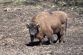 picture of mud  - European Bison standing in mud in its habitat - JPG