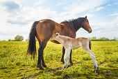 image of mare foal  - Mare let her young foal drinking milk - JPG