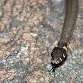 stock photo of snake-head  - Grass - JPG
