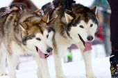 stock photo of sled  - two of sled dogs running through lonely winter landscape - JPG