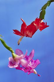 picture of schlumbergera  - Two flower Christmas Cactus  - JPG