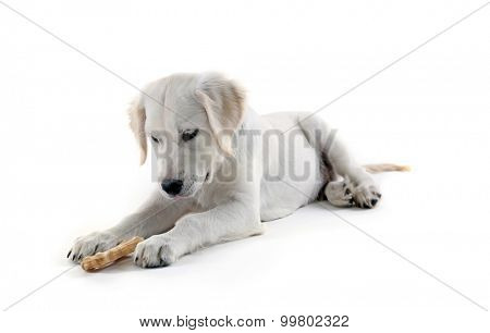 Labrador retriever dog chewing bone isolated on white