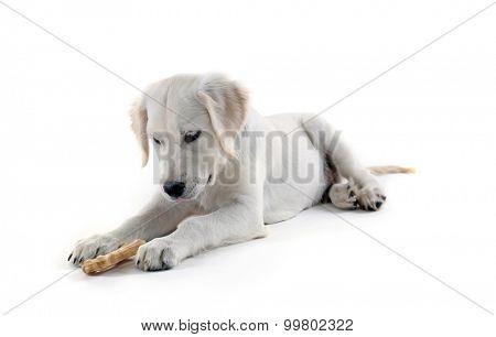 Labrador retriever dog chewing bone isolated on white