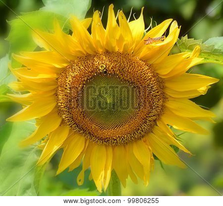 The sunflower