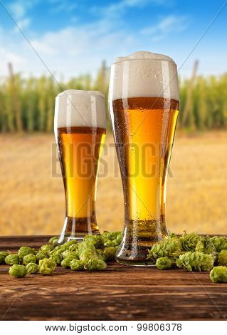 Beer glasses served on wooden desk with hop-field on background