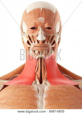medically accurate illustration of the platysma