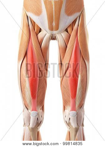 medically accurate illustration of the rectus femoris