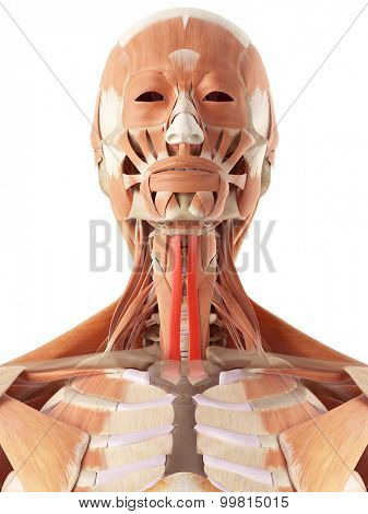 medically accurate illustration of the sternohyoid