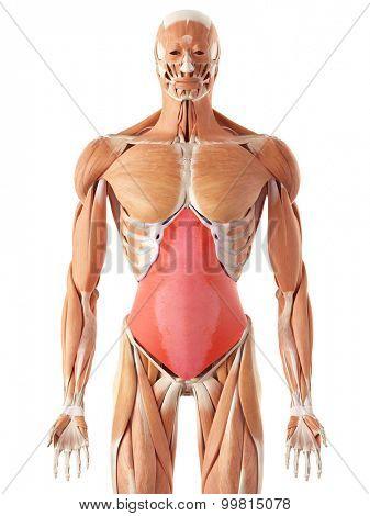 medically accurate illustration of the transversus abdominis