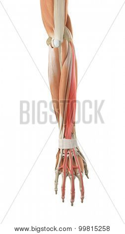 medically accurate illustration of the extensor digitorum