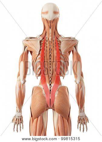 medically accurate illustration of the iliocostalis