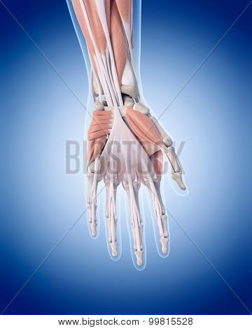 medically accurate illustration of hand muscles