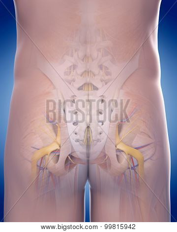 medically accurate illustration of the posterior pelvic anatomy