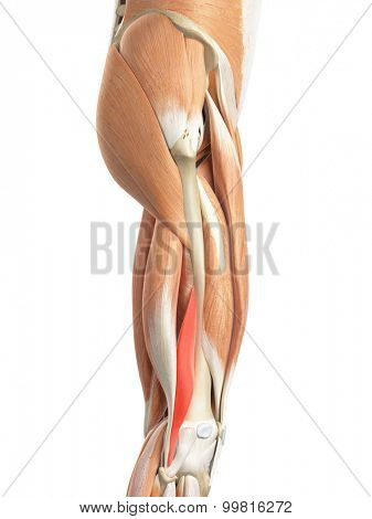 medically accurate illustration of the biceps femoris short