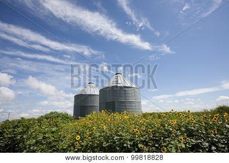 Sunflower Field Manitoba