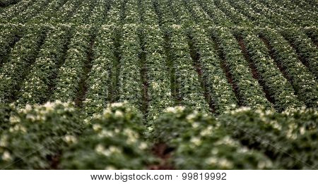 Potato Crop Row