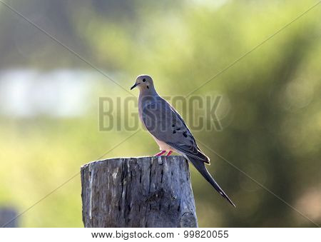 Mourning Dove On Post
