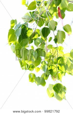 Selected Focus Bo Leaf Isolated