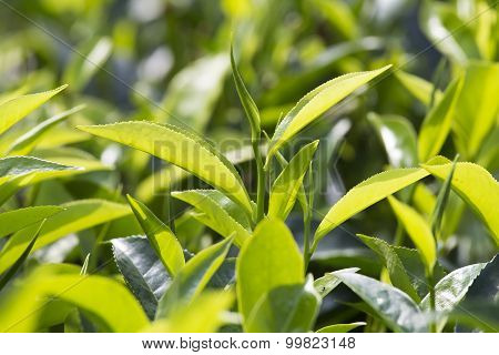 Young Green Leaves & Leaf Bud Of The Tea Tree On Plantation In Nuwara Eliya, Sri Lanka