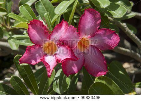 Pink Adenium