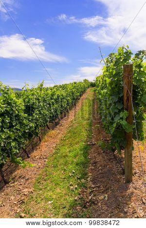 Vineyards in summer colors.