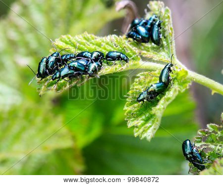 Green Shiny Bugs Mating On A Green Leaf