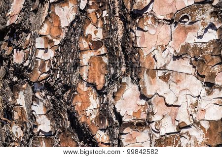 Closeup On Pine Rind Texture